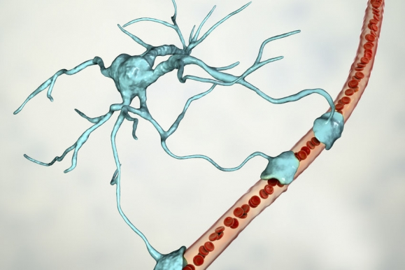 Astrocyte and blood vessel, 3D illustration. Astrocytes, brain glial cells, also known as astroglia, connect neuronal cells to blood vessels (Forrás: 123rf.com)
