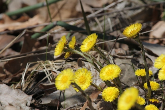 Coltsfoot (Tussilago farfara) wild flowers growing in the gravel beside an old country road in early spring in Ontario (Forrás: 123rf)